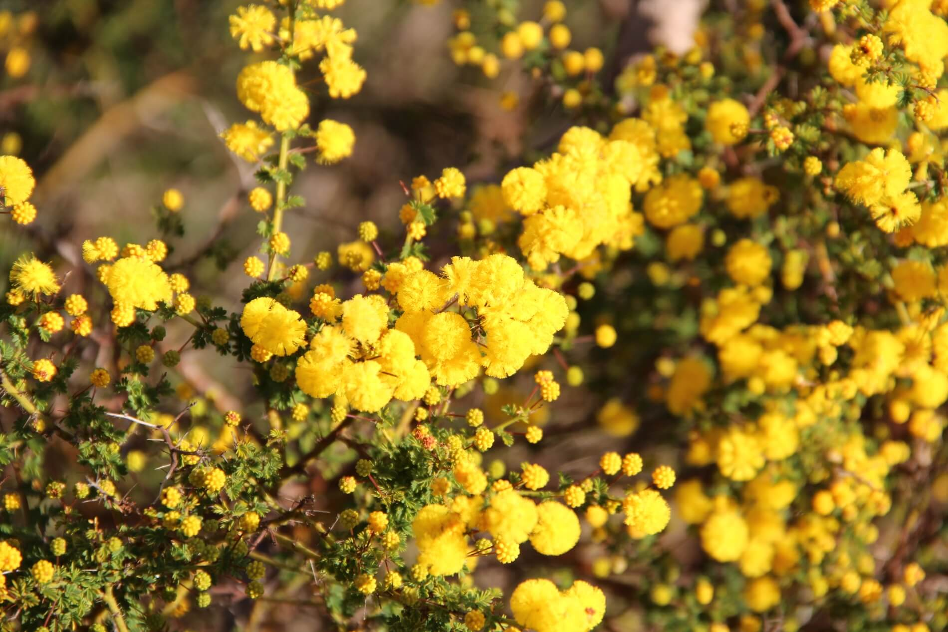 Spring Flowers in Perth Hills